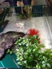 Nouveau et question plante et eclairage pour chrysemis picta Image20