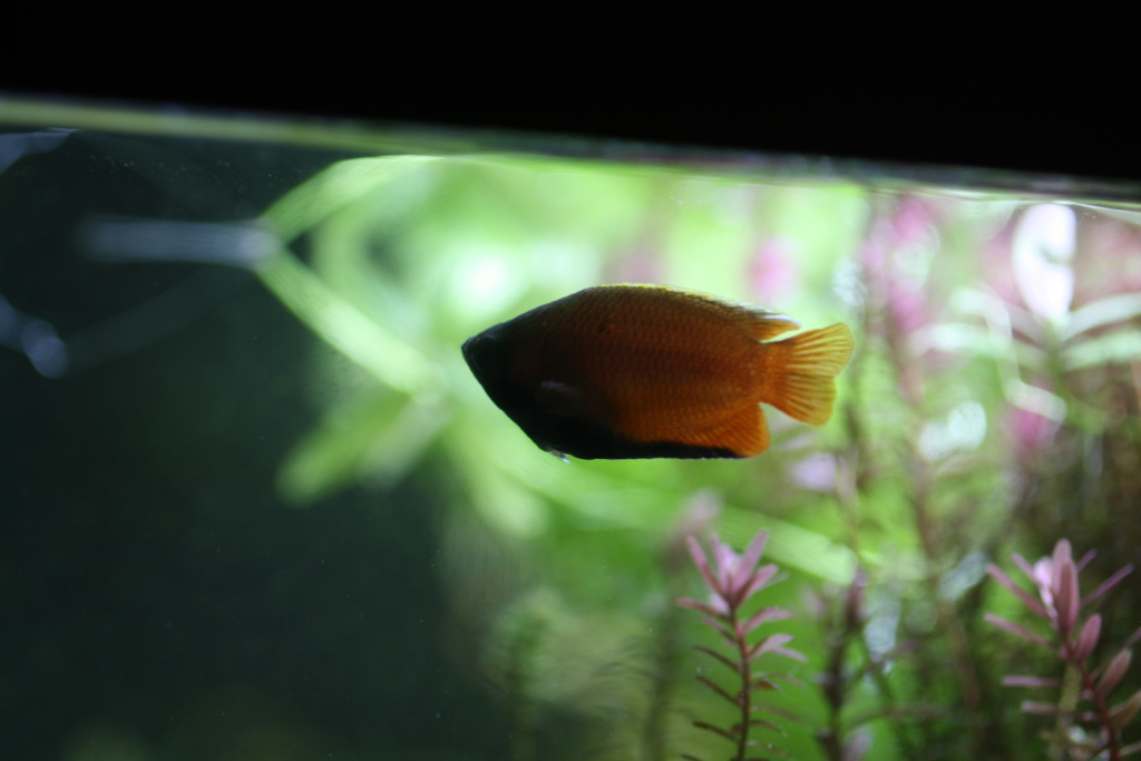 [HELP]Gourami miel perd ses couleurs - Page 2 Img_1710