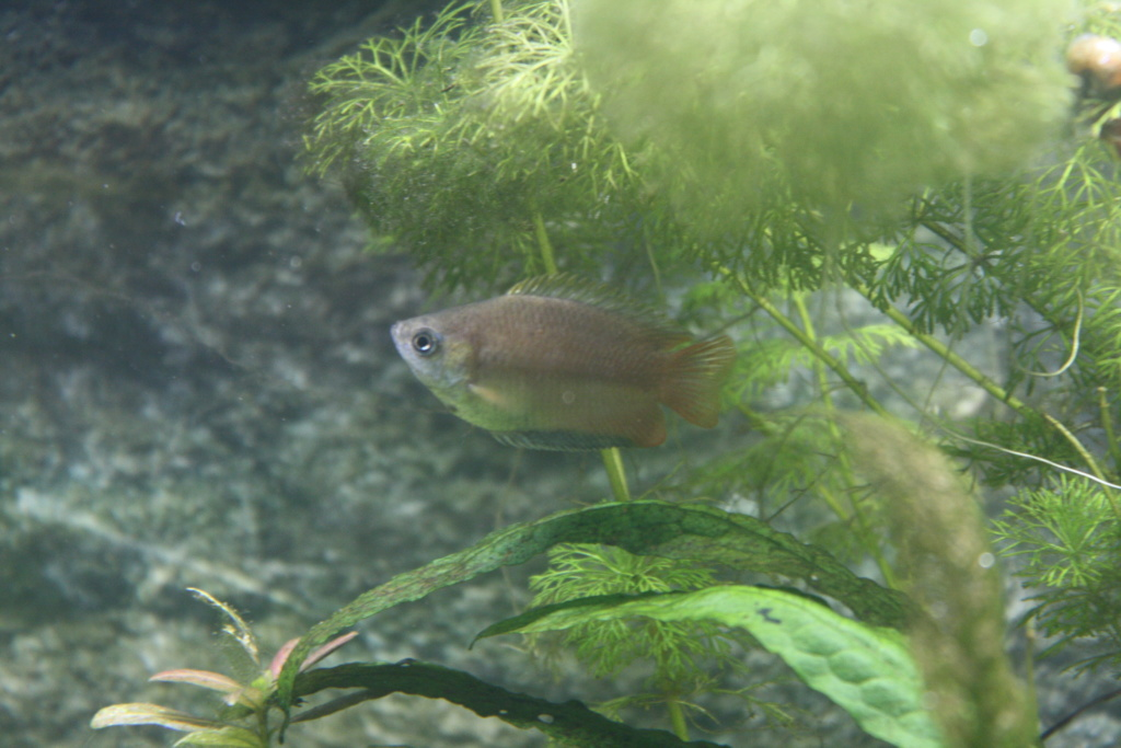 [HELP]Gourami miel perd ses couleurs - Page 2 Img_3511
