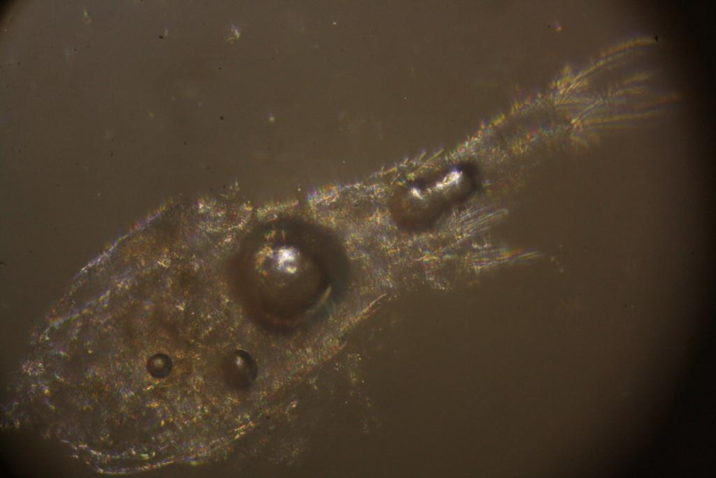 Que mangent nos poissons ? Micro-photos ! Img_5215