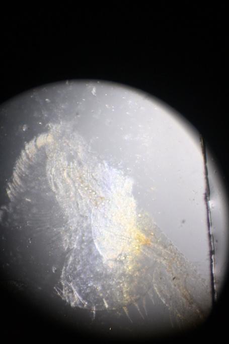 Que mangent nos poissons ? Micro-photos ! Img_5218