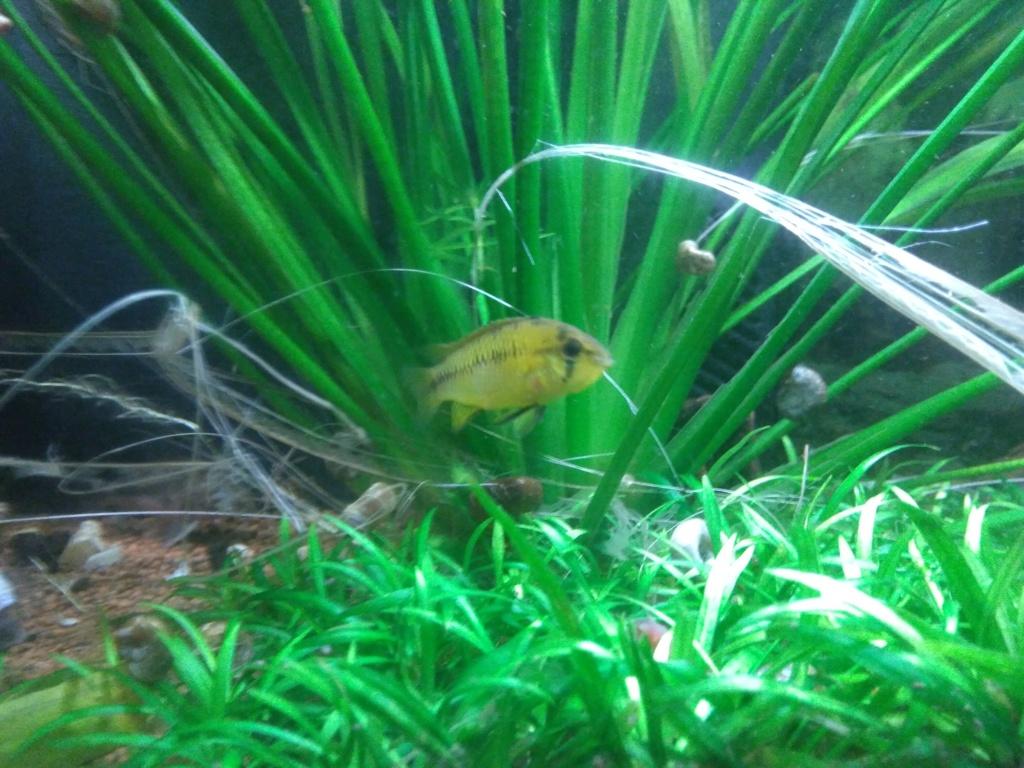 Aquarium amazonien 115 L. P_201917