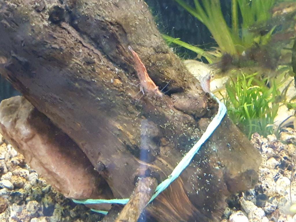 Aqua crevettes Red_ch11