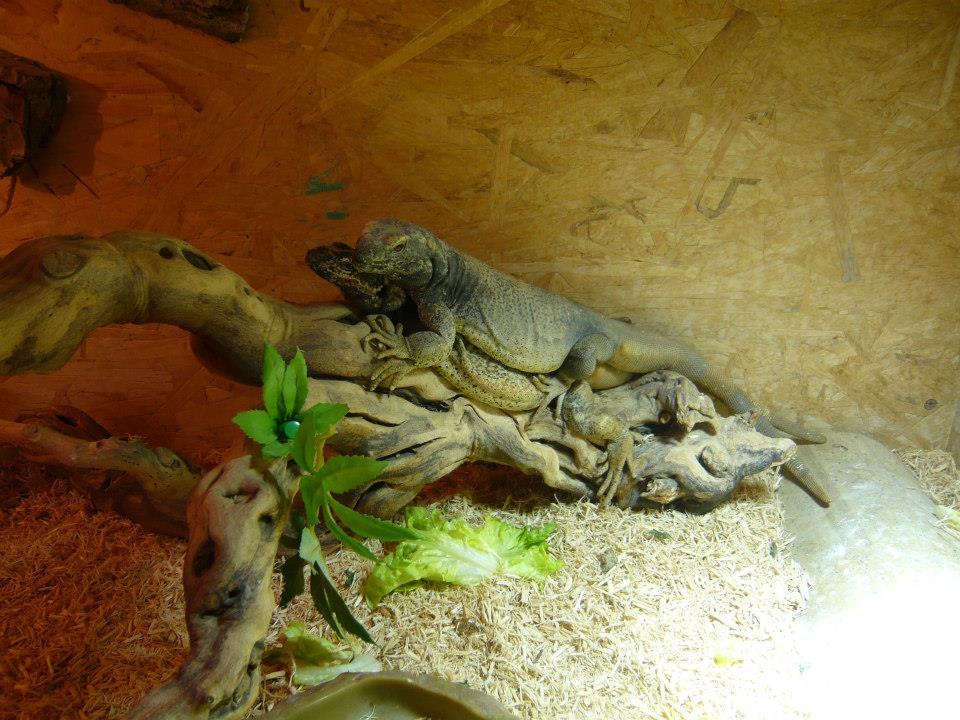 Vend 2 Sauromalus Ater mâles adultes 10361011