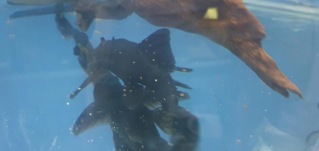 identification poisson mangeur d'algues 20200715