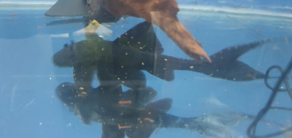 identification poisson mangeur d'algues 20200716