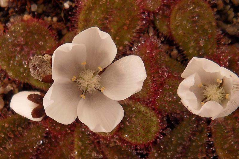 Fleurs de tubéreux macrophylla et browniana Sdc13138