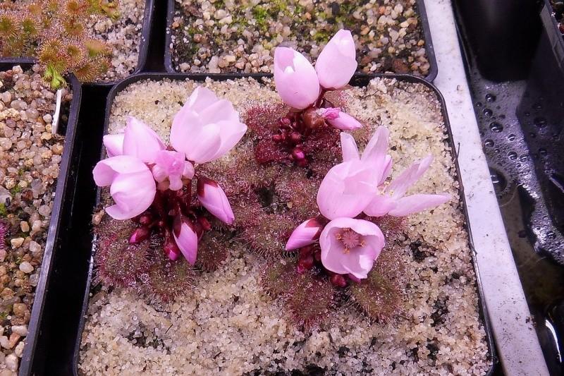 Fleurs de tubéreux macrophylla et browniana Sdc13140