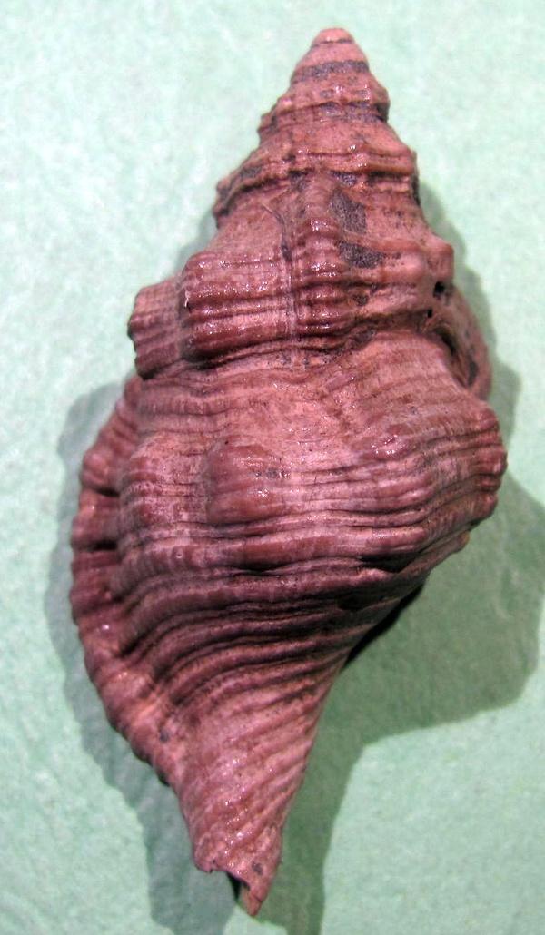 Cymatium corrugatum Cyma_110