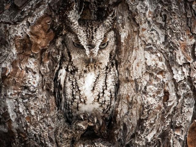 Oiseaux de nuit Houuho10