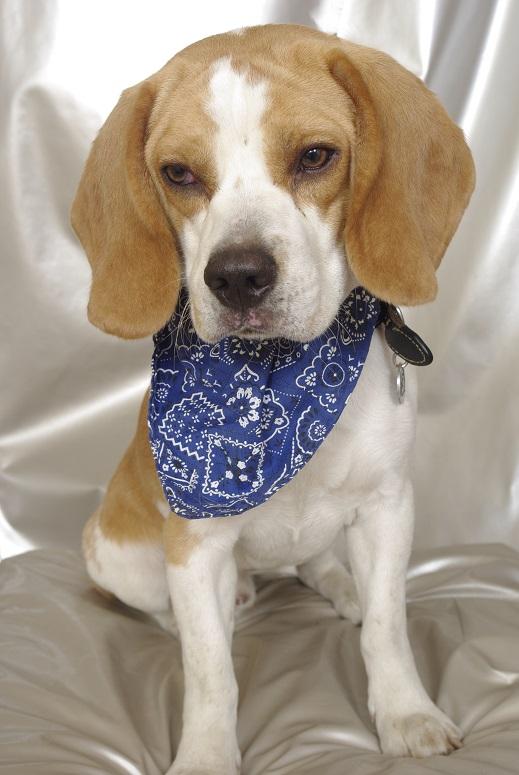 Marley, beagle mâle, 1 an (SPA d'Hermeray - 78) Marley10