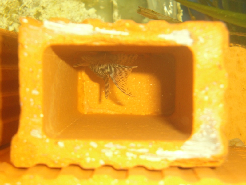film,photos: Hypancistrus L333 porto de moz Dsc03225