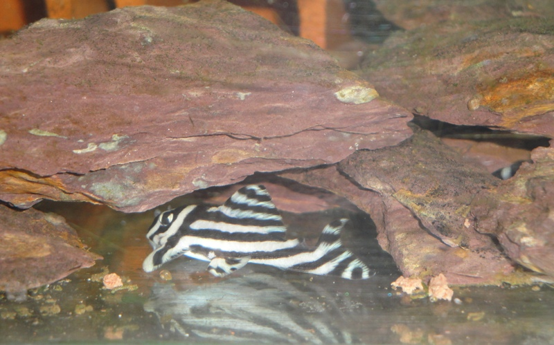 film,photos: Hypancistrus  Zebra L046 Dsc03226