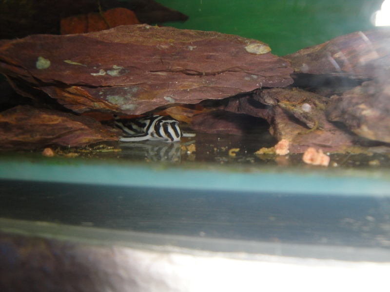 film,photos: Hypancistrus  Zebra L046 Dsc03229