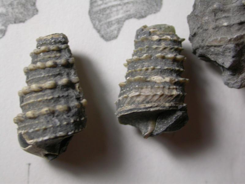 [résolu]Potamides (Eotympanotonus) forojuliensis Dainelli, (1915) Foroju11