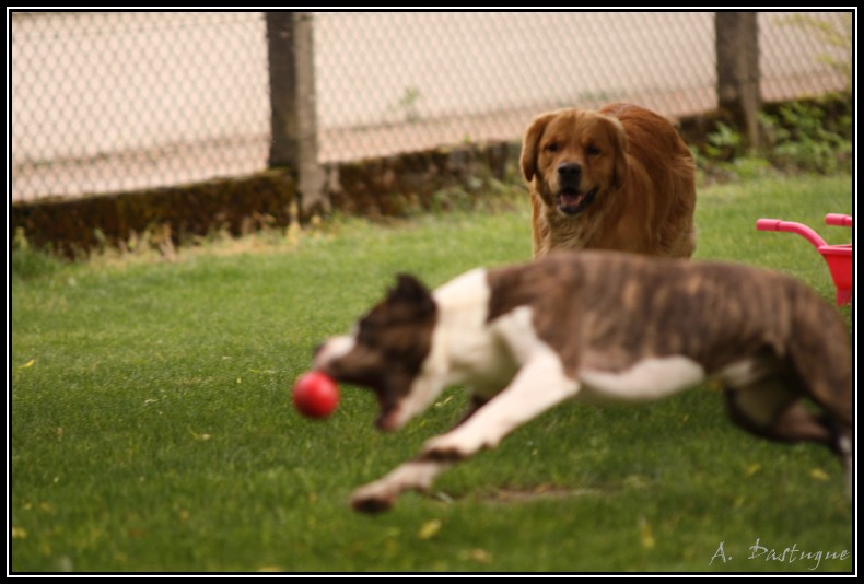 A placer Amstaff male 5 ans sportif Img_8110