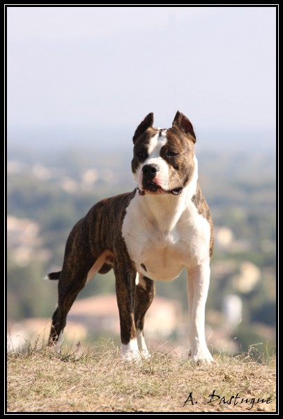 A placer Amstaff male 5 ans sportif Img_8510
