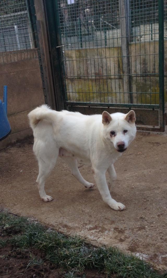 Akoya, Akita inu blanche  (f)15/09/2007 pas de chiens, chats ASSO44 Image110
