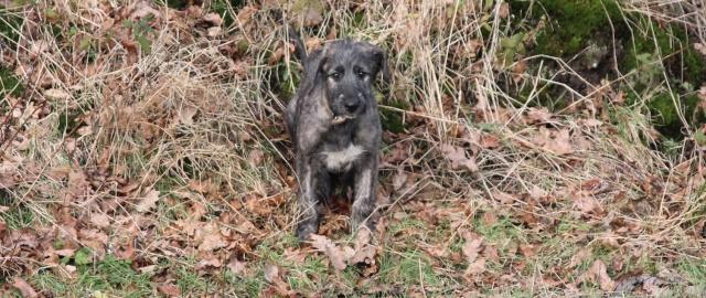 2 bébés irish wolfhound cherchent leurs familles Img_5410