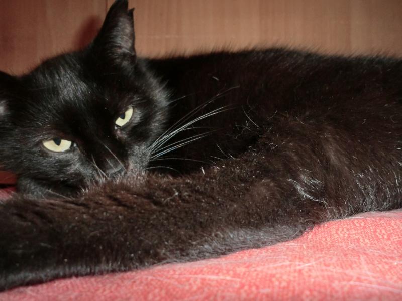 MIKO  jolie chatte noire 4 fractures du bassin a l'adoption - Page 2 Cimg9414