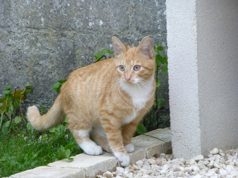 encore un beau grand chaton dans la rue ...ADOPTE! Roux_b10