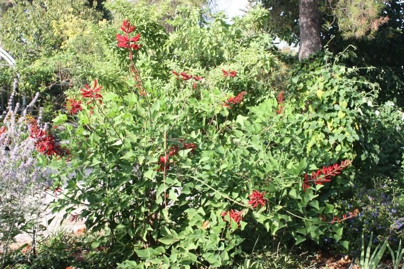 Erythrina Herbacea 20_aou19