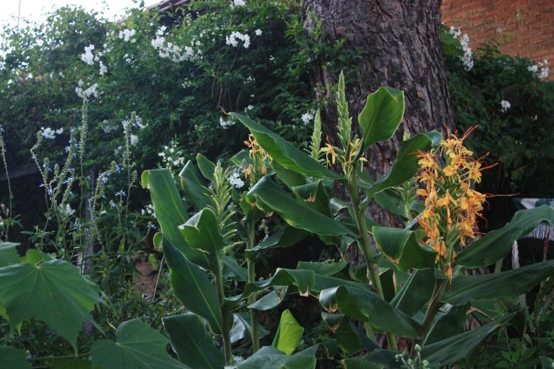 Hedychium gardneranium Fin_ao12