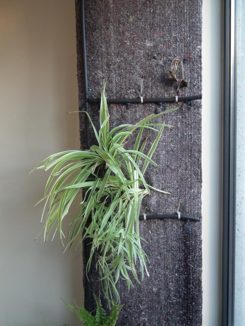 Phill : mon Premier mur végétal  Dscf1517