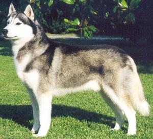 lignée course husky sibérien.  Siberi10