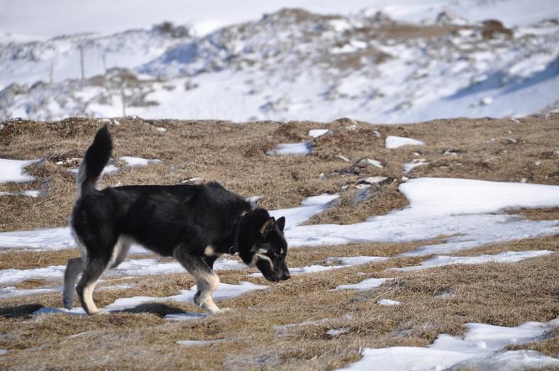 URGENT !!!! Ecla, Groenlandaise lof 5 ans PART89 ADOPTEE Eclat_10