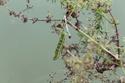 Macroglossum stellatarum (Linné, 1758) 1_macr10