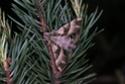 Proserpinus proserpina (Pallas, 1772) Proser10