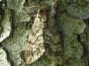 Ceratomia undulosa (Walker, 1856) Sphinx19
