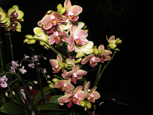 Expo d'orchidées en Auvergne , ENFIN!!!!!!!!!!!!!!!! Pict1111
