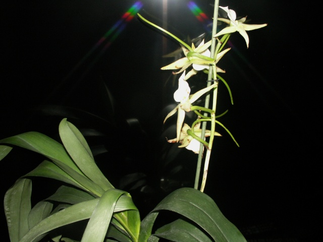 Expo d'orchidées en Auvergne , ENFIN!!!!!!!!!!!!!!!! Pict1210
