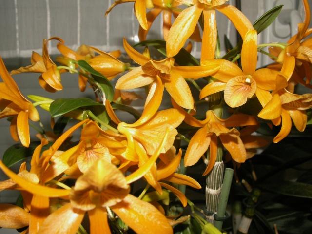Expo d'orchidées en Auvergne , ENFIN!!!!!!!!!!!!!!!! Pict1211