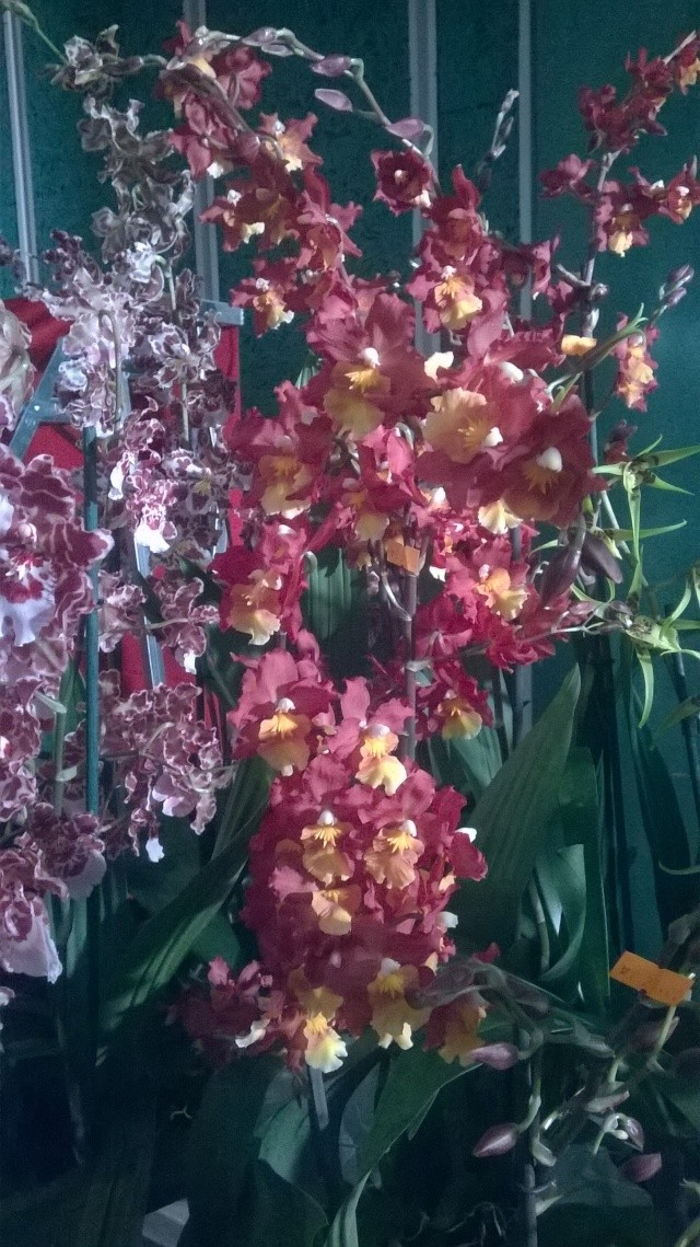 Expo d'orchidées en Auvergne , ENFIN!!!!!!!!!!!!!!!! Wp_20110