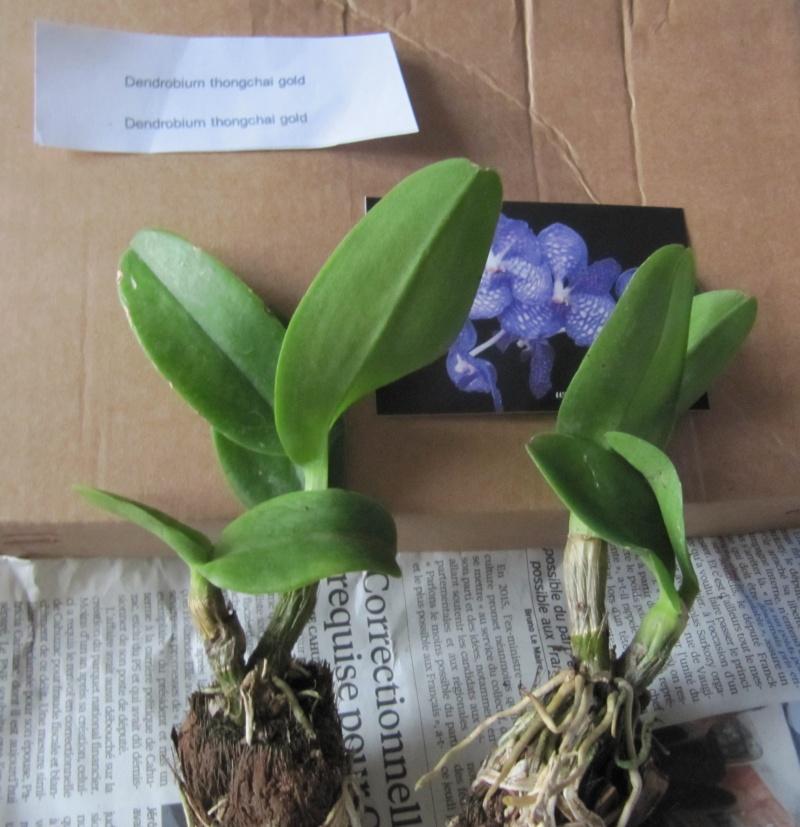 Dendrobium thongchai gold Img_3711