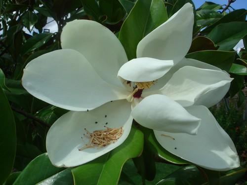 Mélange de plantes méditerranéennes et sub-tropicales sur la côte atlantique du 44 13_07_10