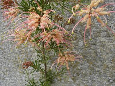 Premières fleurs sur la Cote de Jade Grevil12