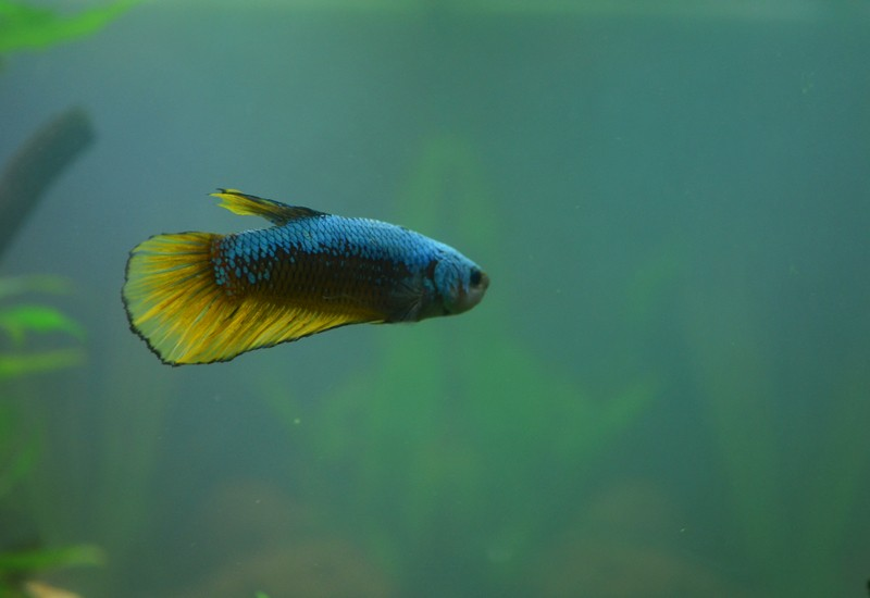 Nouveaux betta male giant  Bettal11