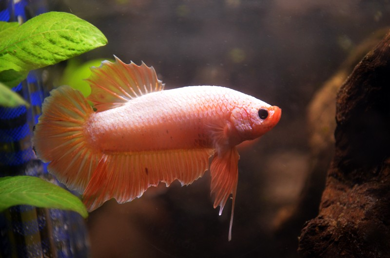 Nouveaux betta male giant  Bettar10