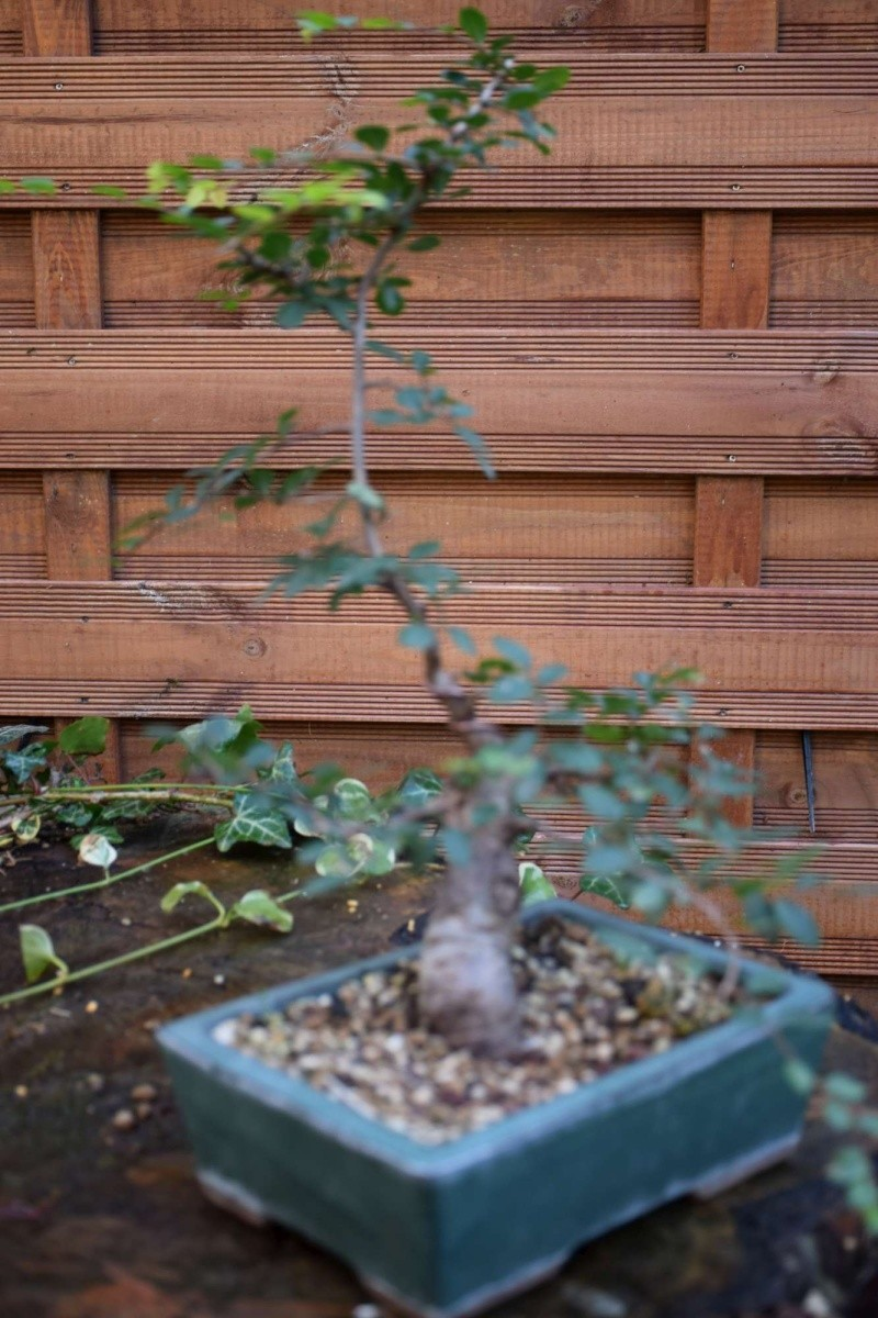 orme de jardinerie Dsc_0044