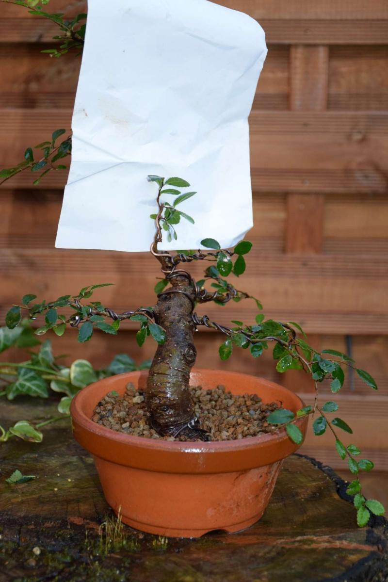 orme de jardinerie Dsc_0046