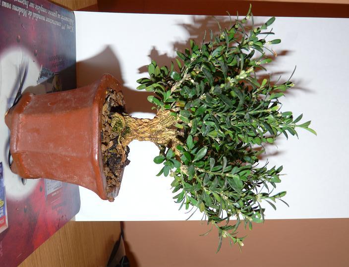Buxus Harlandii P1000811