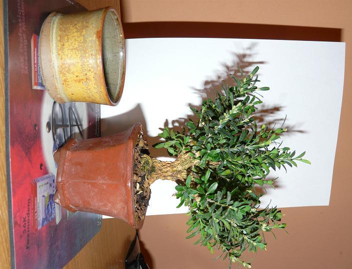 Buxus Harlandii P1000818