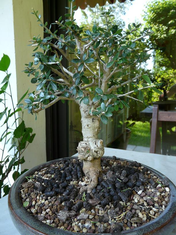olivier de pepiniere - Page 2 P1050610