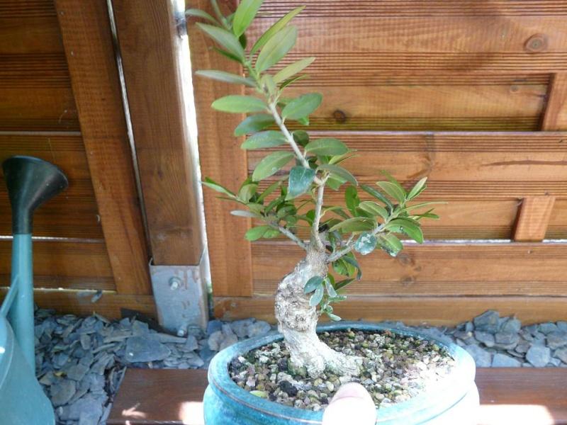 olivier de pepiniere - Page 2 P1070310