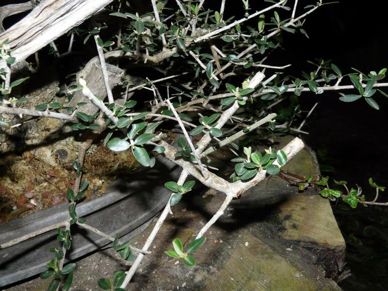 olivier de pepiniere - Page 2 P1080310