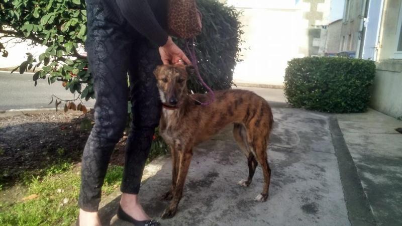 """Amapola galga barbuda de la taille d'un whippet à l'adoption """"Scooby France""""Adoptée  - Page 3 Amapol24"""